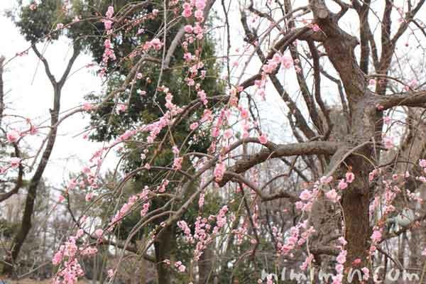 梅の花・羽根木公園の梅まつりの画像