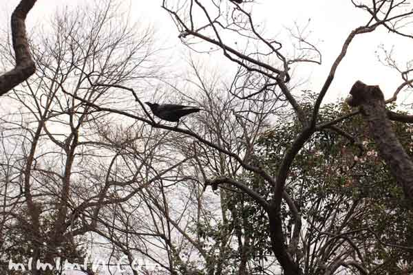 カラス・羽根木公園の写真