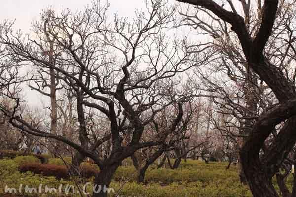 梅林 羽根木公園の画像