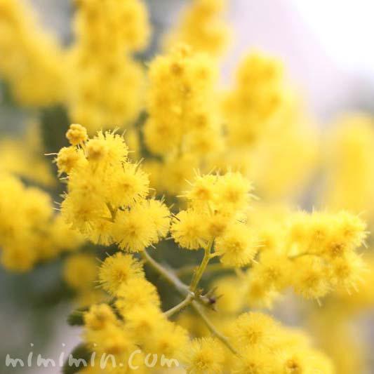 ミモザアカシアの花の画像
