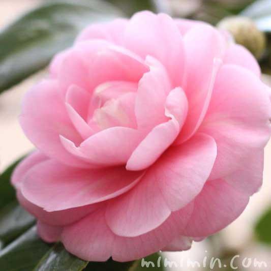 乙女サザンカの花の写真(ピンクの八重咲き山茶花)