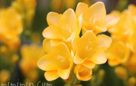 フリージアの花の写真