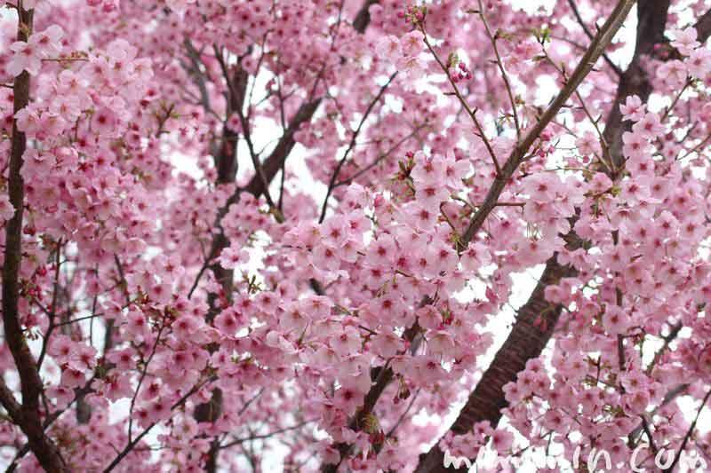陽光桜(ヨウコウザクラ)の花の画像