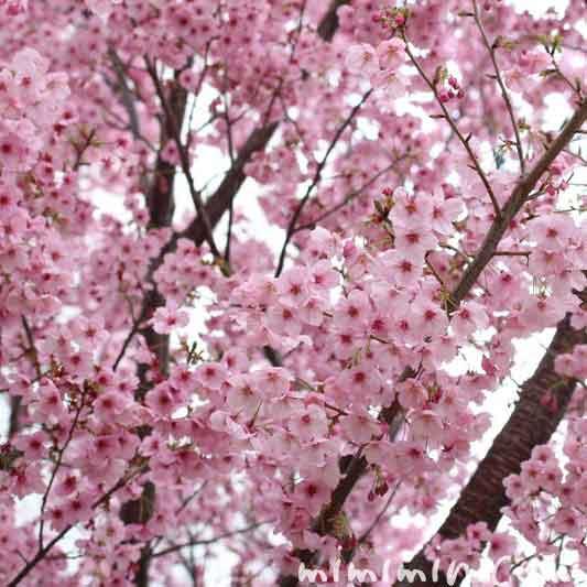 陽光桜の写真