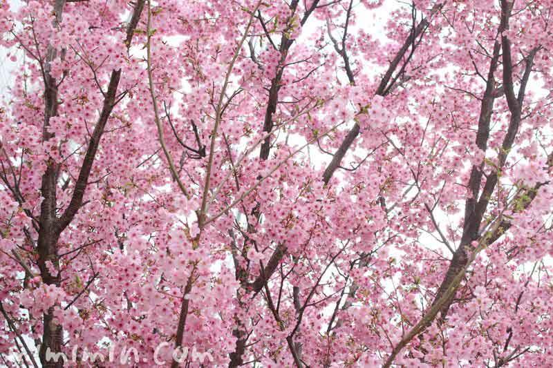 ヨウコウザクラの花の写真