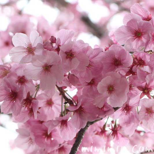 陽光桜の花の画像