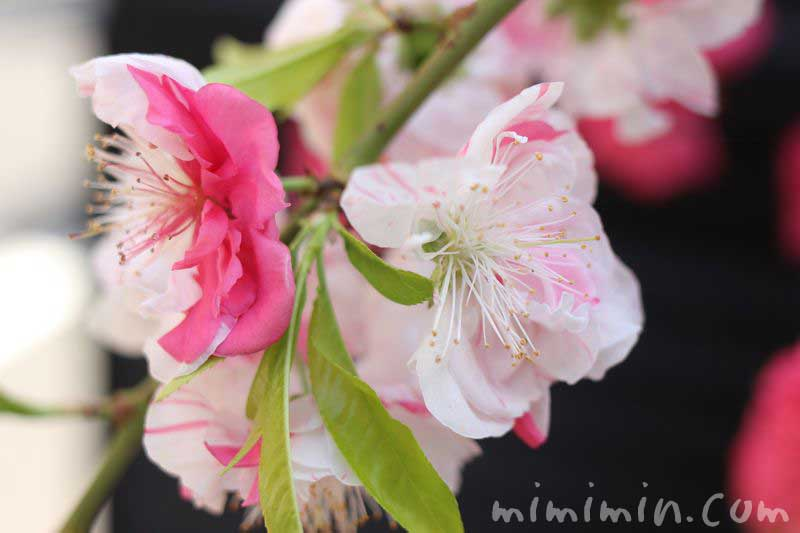 源平桃(咲き分け)の写真