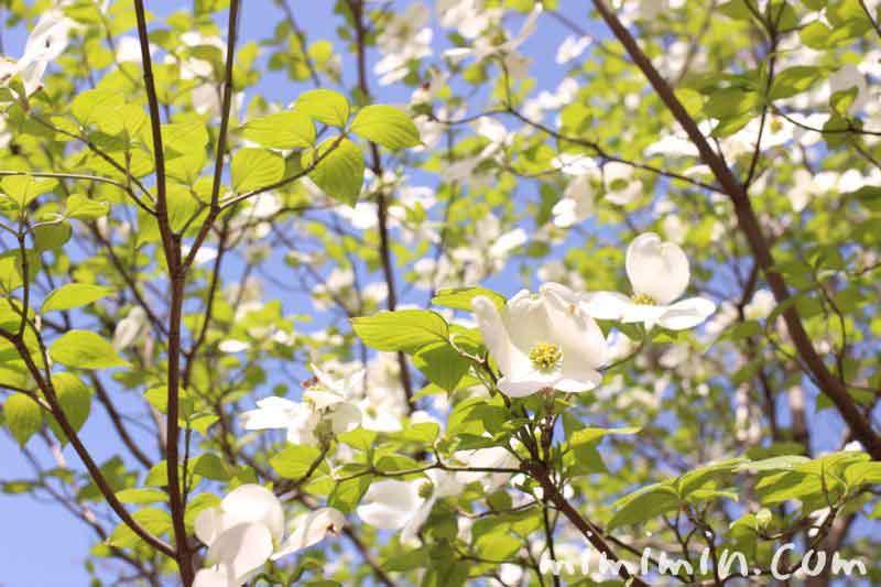 ハナミズキ(花水木)の写真