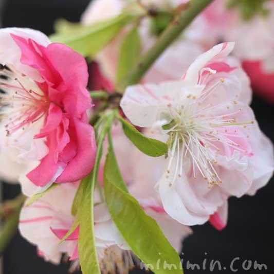 桃(咲き分け・源平咲き)の写真