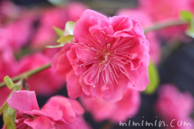 花桃(濃いピンク)の画像