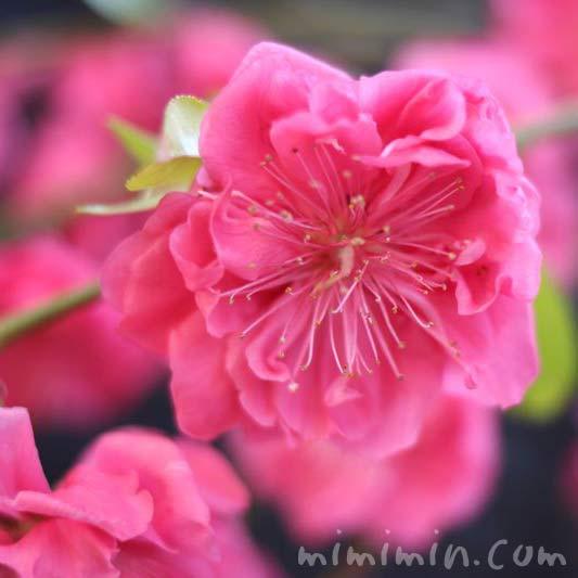 花桃の写真