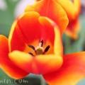 赤と黄色の斑入りチューリップの写真