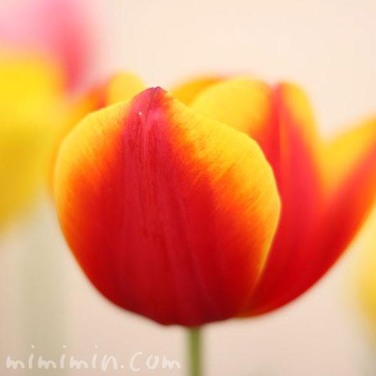 班入りチューリップ(赤×黄)の写真