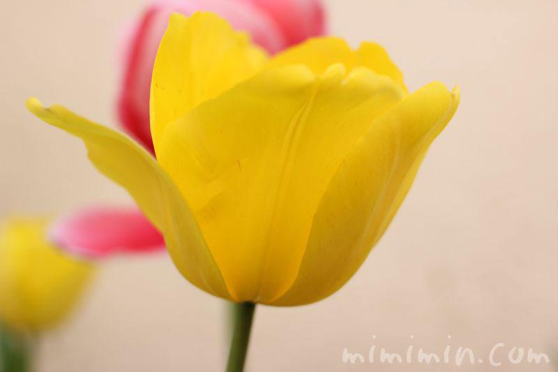 黄色のチューリップの写真