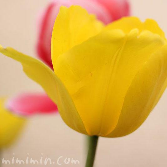 黄色のチューリップの花の画像
