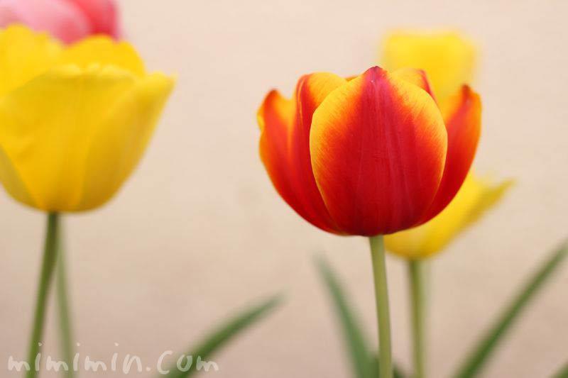 チューリップ(赤×黄)の画像