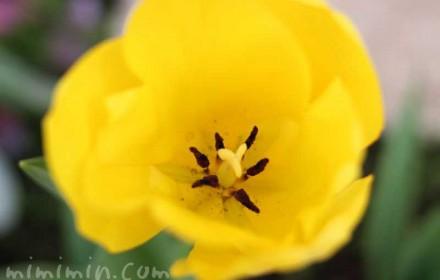 チューリップの花(黄色)の画像