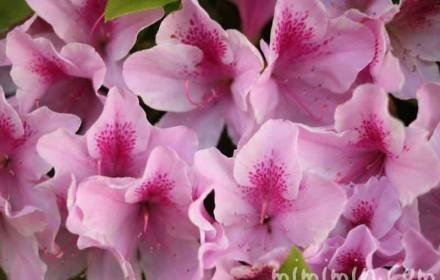 ピンクのツツジの写真