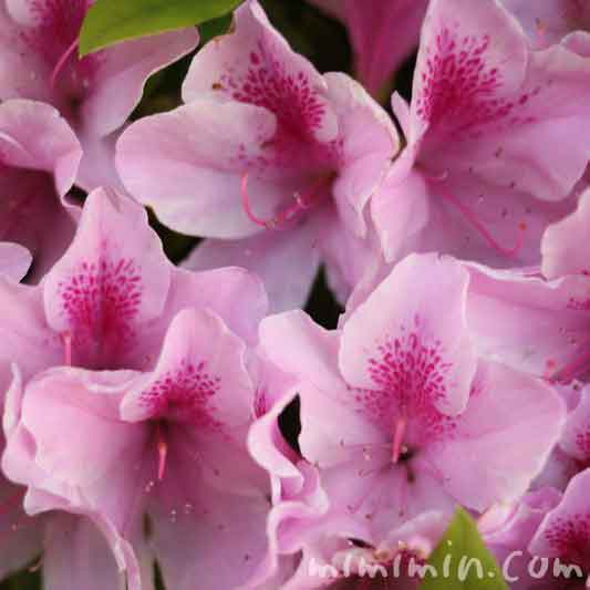 ツツジ(ピンク)の画像