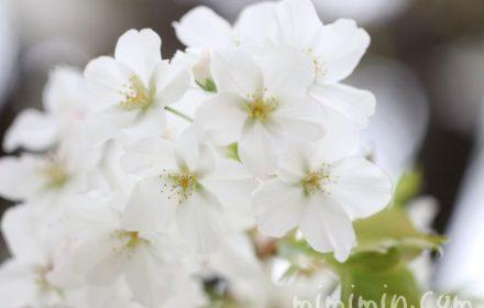 大島桜の画像