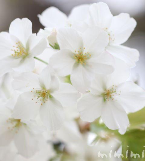 オオシマザクラ(大島桜)の花の写真・花言葉