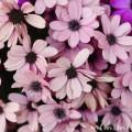 満開のオステオスペルマムの花