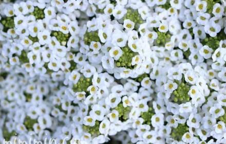 満開のスイートアリッサムの花の画像