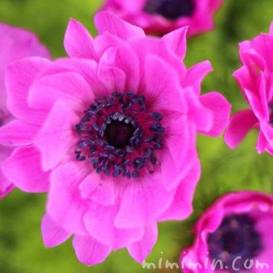 アネモネ(ピンク)の写真