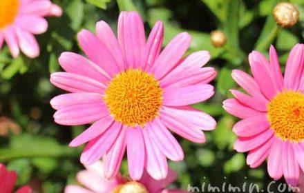 マーガレット ピンクの画像