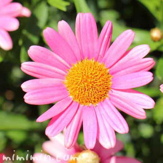 マーガレット ピンク色の写真