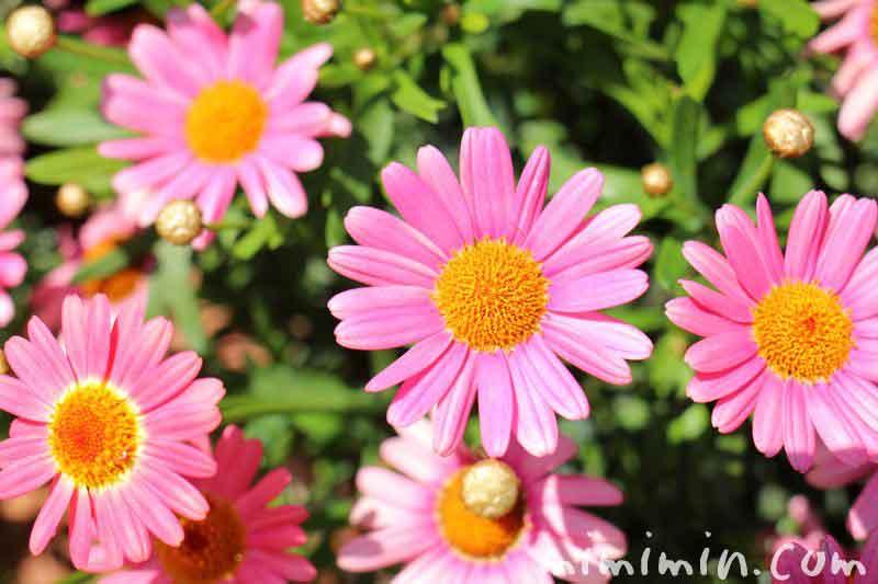 モクシュンギク ピンクの画像