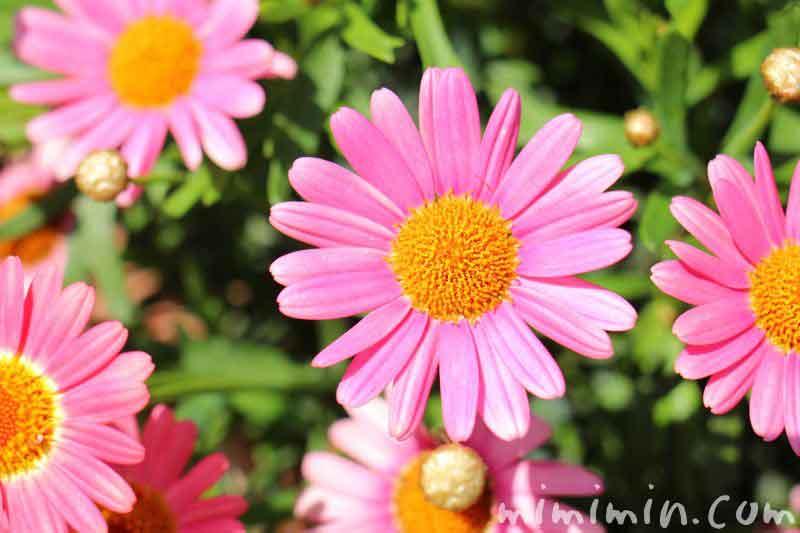 マーガレットの花の画像 ピンク色