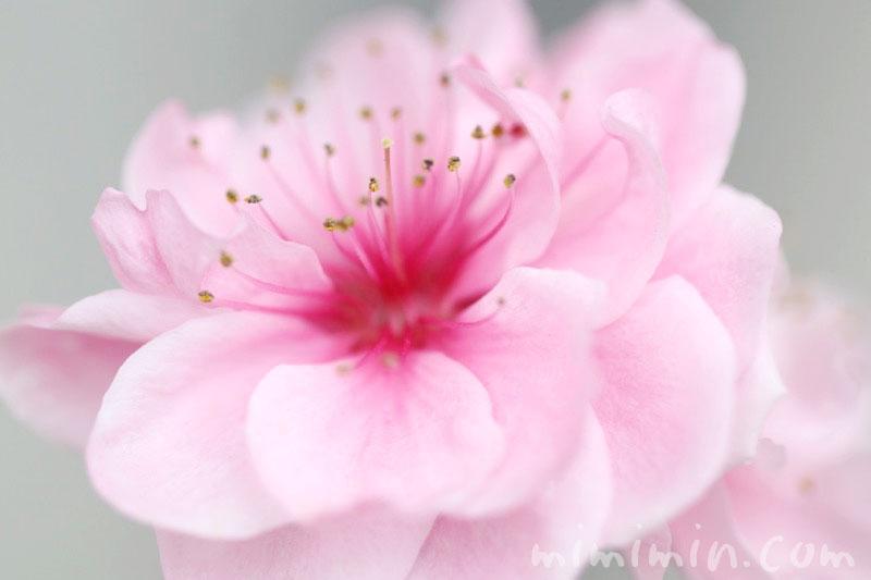 花桃(ピンク色)の画像