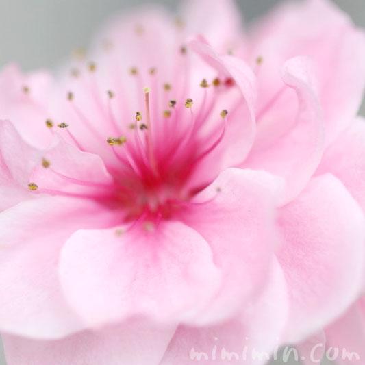 ハナモモ(ピンク)の画像