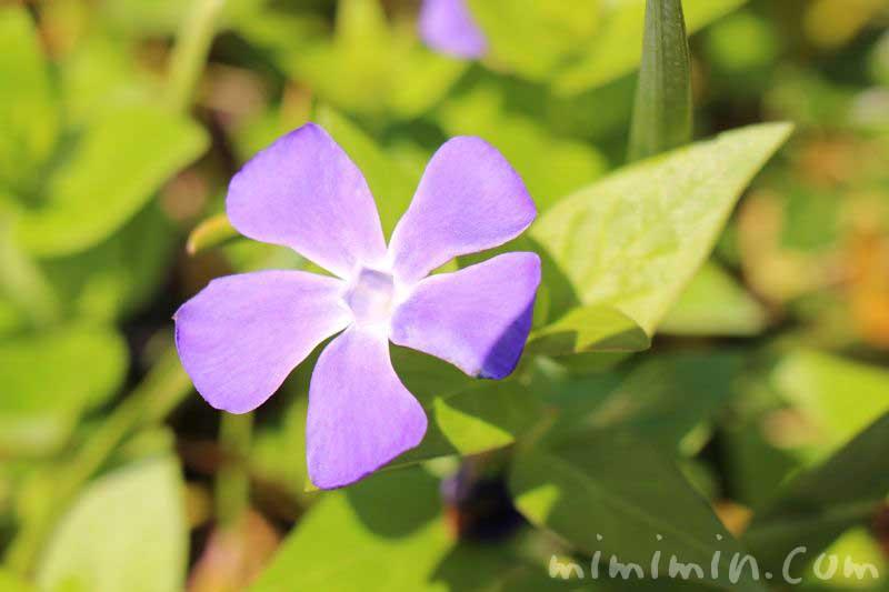 ツルニチニチソウ(蔓日々草)の花の画像