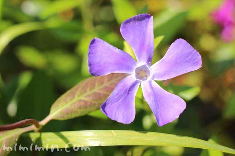 ツルニチニチソウ(蔓日々草)の写真