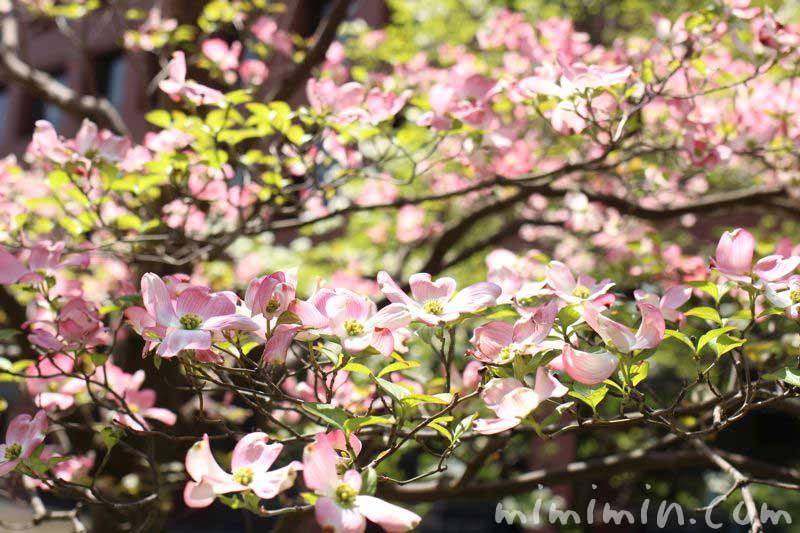 ピンクのハナミズキの花の画像