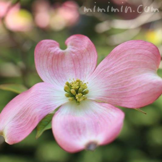 ハナミズキ(ピンク)の画像