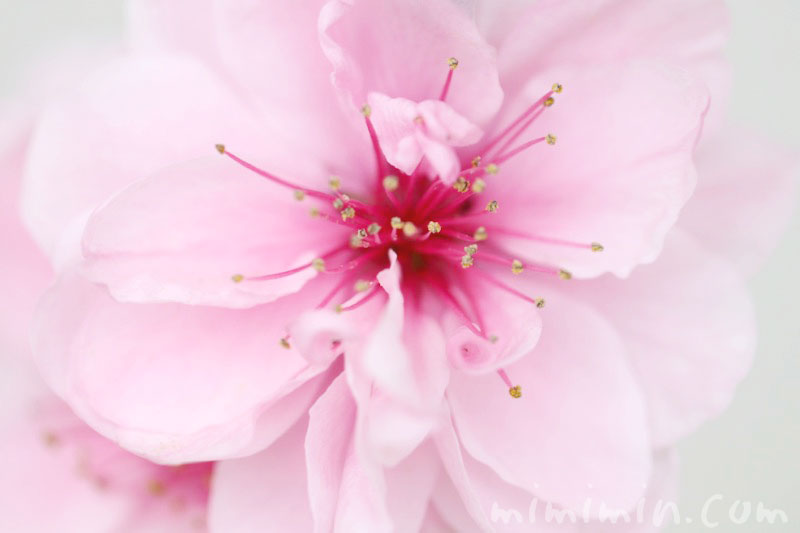 花桃(ピンク色)