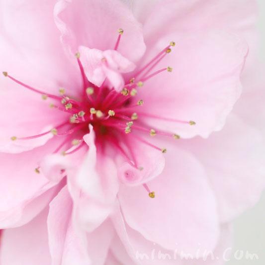 ハナモモ(ピンク)