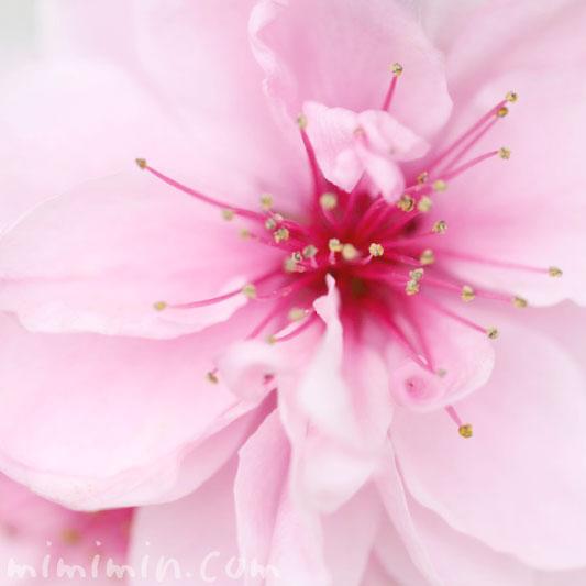 ピンクの桃の花(ハナモモ)