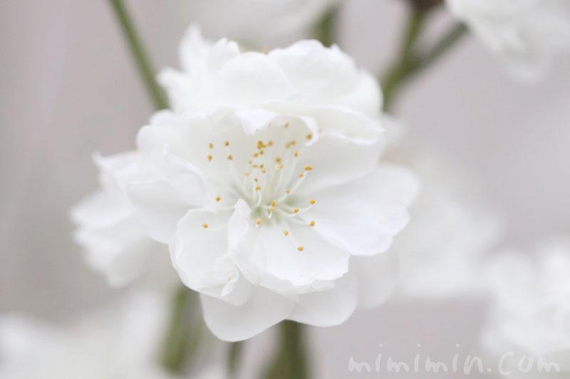 白いハナモモの写真・花言葉の画像