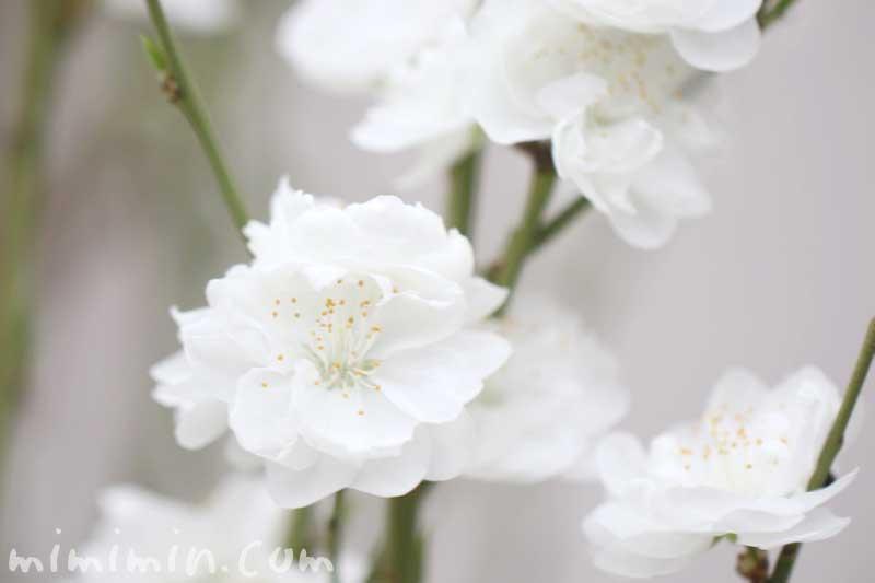 白いモモの写真・花言葉の画像