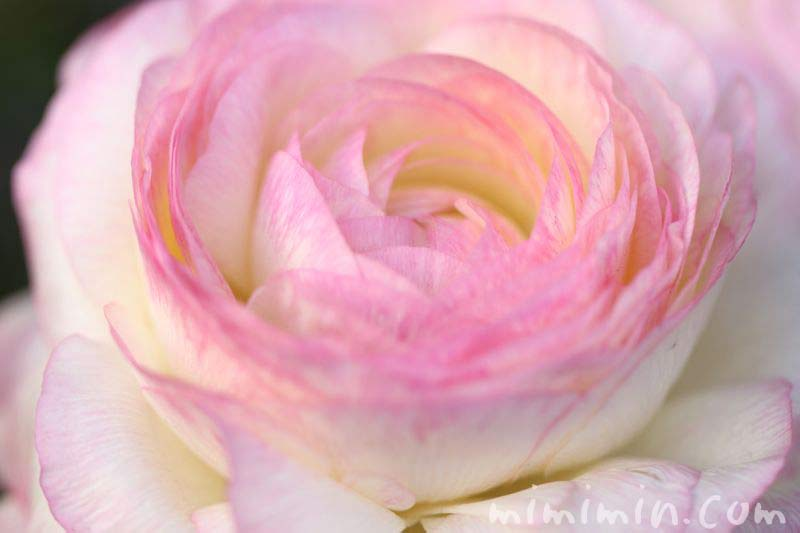 ラナンキュラスの花言葉の画像