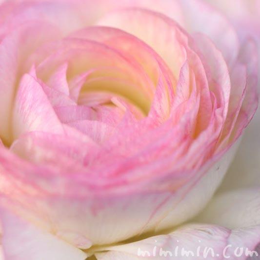 ピンクのラナンキュラスの花言葉