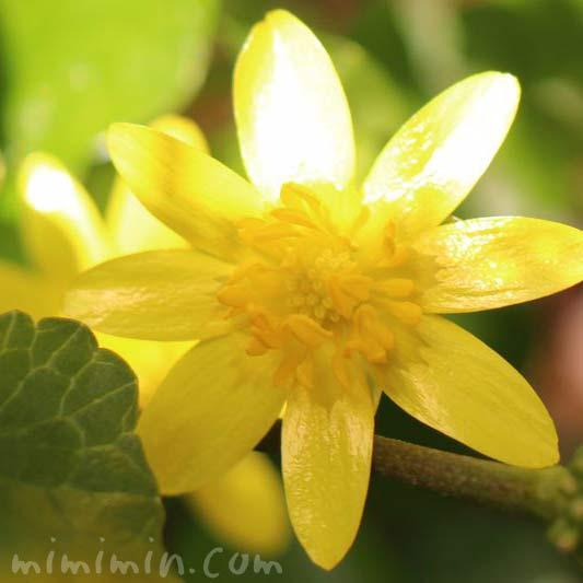 姫立金花の写真