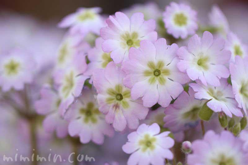 プリムラ・マラコイデス(西洋桜草)の写真