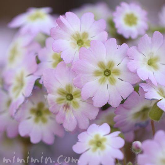 淡いピンクのプリムラ・マラコイデス(西洋桜草)の画像
