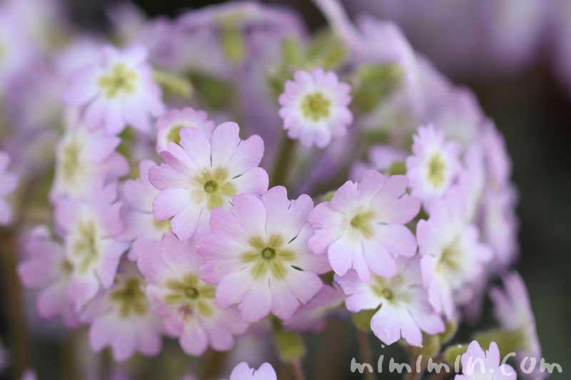 西洋桜草 プリムラ・マラコイデス 薄ピンクの画像