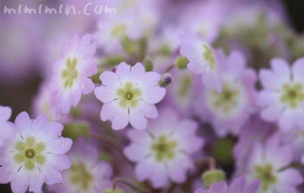 西洋桜草の花 薄ピンクの写真